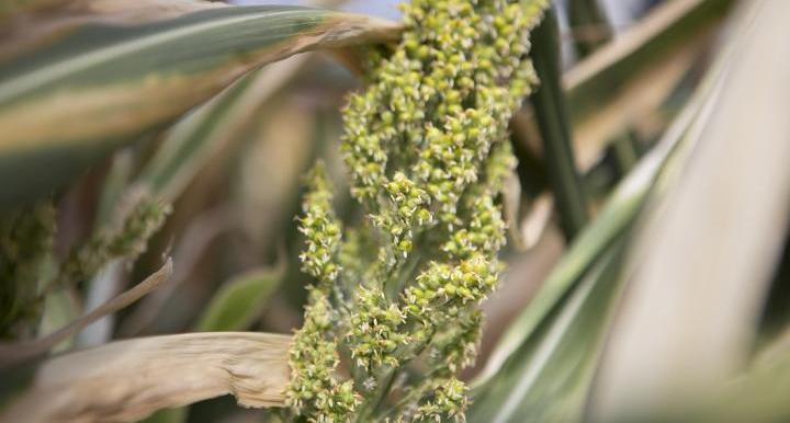 A sorghum plant